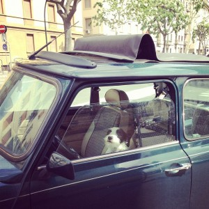 Dog driving a Fiat in Florence