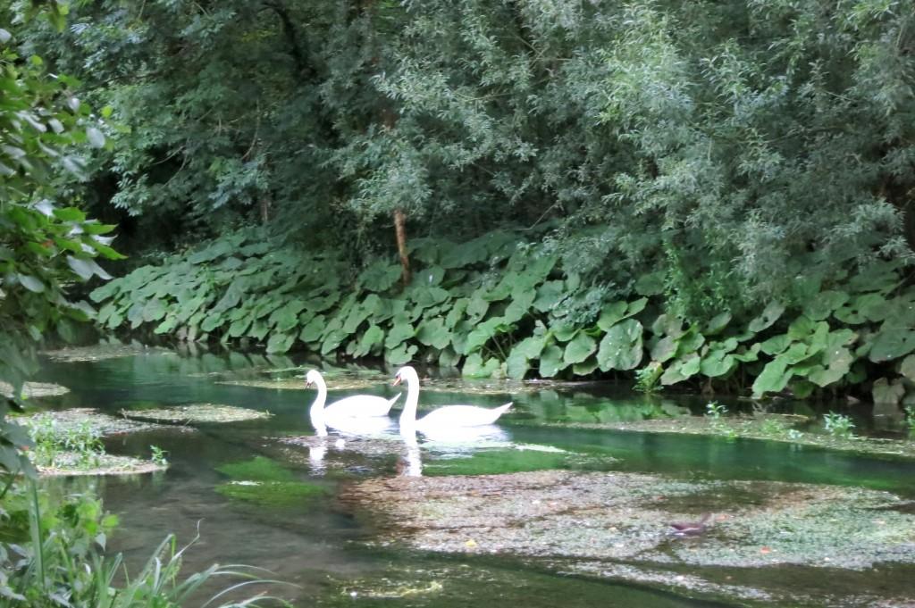 Bibury's swans