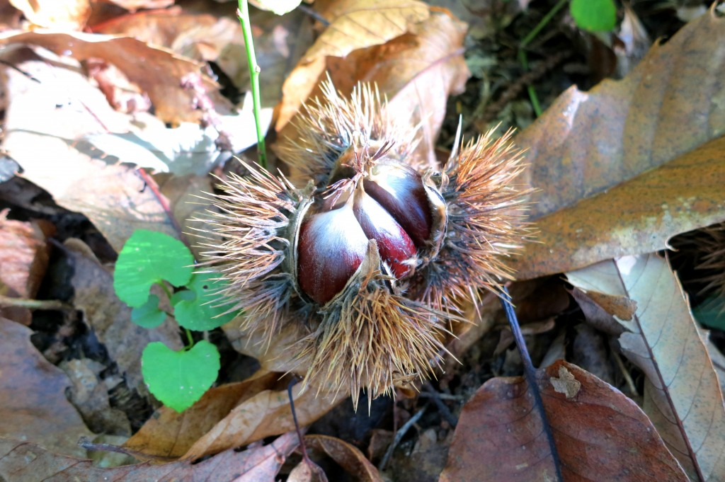 Chestnuts in Tuscany